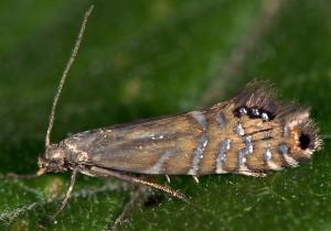 Glyphipterix thrasonella 03 1