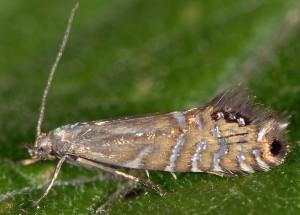 Glyphipterix thrasonella 03 2