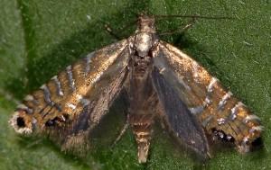 Glyphipterix thrasonella 03 3