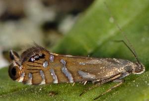 Glyphipterix thrasonella 2B 1