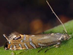 Glyphipterix thrasonella 2B 2