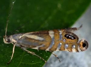 Glyphipterix thrasonella 83 3