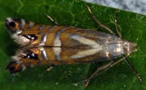 Glyphipterix thrasonella 83 4