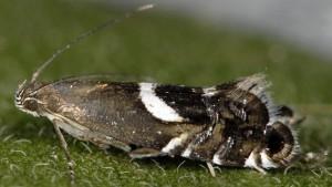 Glyphipterix umbilici 66 1
