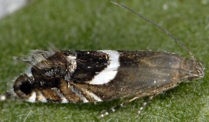 Glyphipterix umbilici 66 3