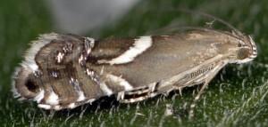Glyphipterix umbilici 66 8