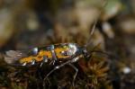 Heliodinidae