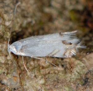 Leucoptera laburnella 2