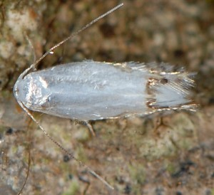 Leucoptera laburnella 3