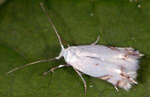 Leucoptera laburnella 5