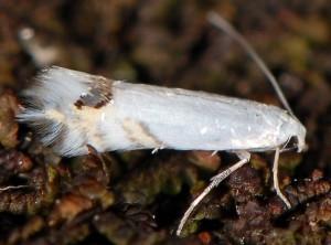 Leucoptera laburnella 6