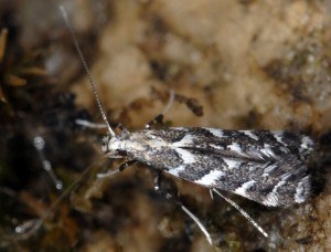 Leucospilapteryx omissella 3