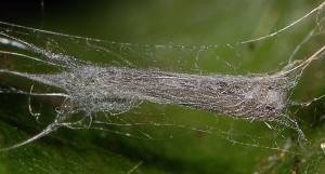 Lyonetia clerkella p