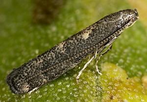 Metriochroa latifoliella