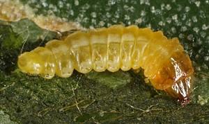 Metriochroa latifoliella L5 1