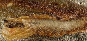Metriochroa latifoliella mine