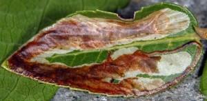 Metriochroa latifoliella m 4