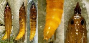 Metriochroa latifoliella chrysalide