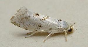 Niphonympha dealbatella