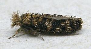 Ochsenheimeria taurella 1