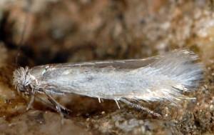Ocnerostoma piniariella