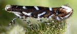 Parectopa robiniella (I, L5, M, P)
