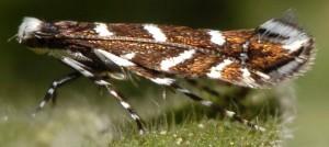 Parectopa robiniella 2