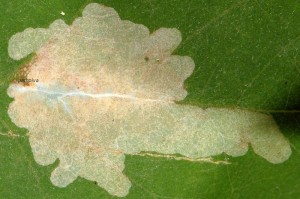 Parectopa robiniella m 2