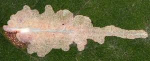 Parectopa robiniella m 3