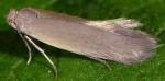 Phyllobrostis daphneella (I)