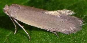 Phyllobrostis daphneella 1