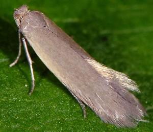 Phyllobrostis daphneella 2