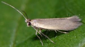 Phyllobrostis daphneella 5