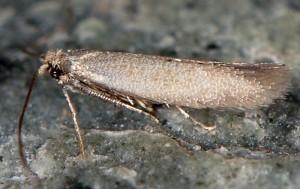 Phyllobrostis fregenella 1