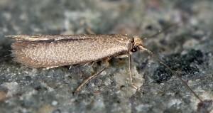 Phyllobrostis fregenella 3