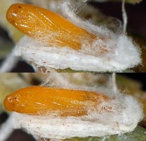 Phyllobrostis fregenella p