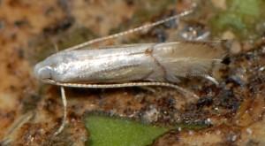 Phyllocnistis citrella 4