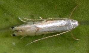 Phyllocnistis citrella 5