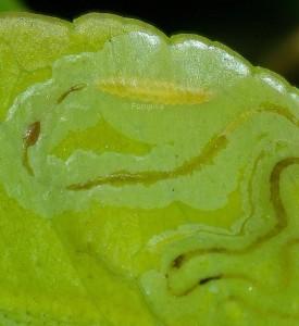 Phyllocnistis citrella L5 1