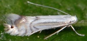 Phyllocnistis ramulicola 1