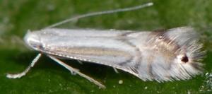 Phyllocnistis ramulicola 4