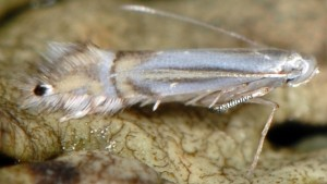 Phyllocnistis saligna 06 1