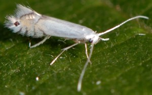 Phyllocnistis saligna 2