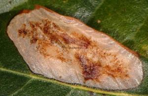 Phyllonorycter belotella m 2