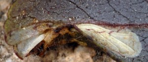 Phyllonorycter cephalariae m 3