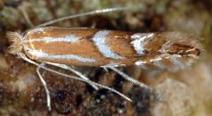 Phyllonorycter cerasicolella 4
