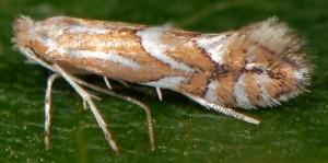Phyllonorycter cerasicolella 5