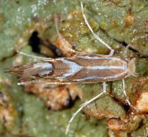 Phyllonorycter cerasinella 3