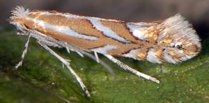 Phyllonorycter cerasinella 5