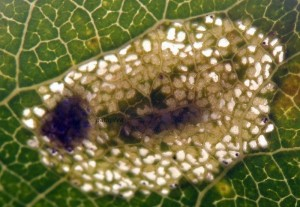 Phyllonorycter comparella m 3